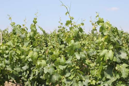Grape vines in Sicily