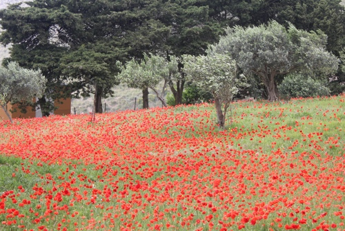 Olive trees and poppies in Sicily