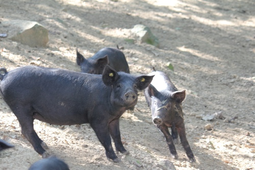 Black pigs of the Nebrodi Mountains in Sicily