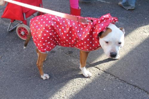 Dog in a raincoat at the Abbotsford Convent Market in Melbourne