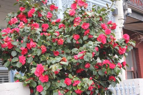 Camellia Bush, Melbourne