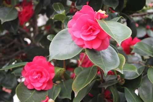 Camellias, Melbourne