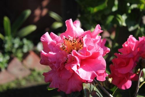 Camellias, Melbourne