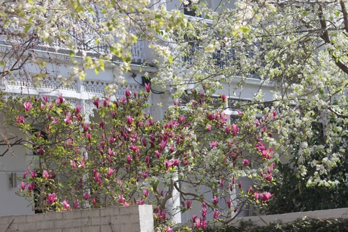 Almond Blossom and Magnolia in Melbourne
