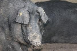 The Black Pigs of the Nebrodi