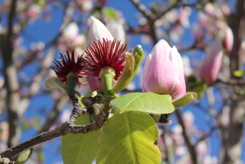 Magnolia Tree, Melbourne