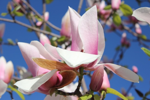 Magnolia Flower, Melbourne
