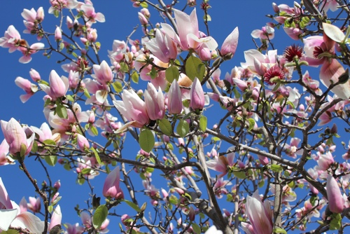 Magnolia Tree, Melbourne