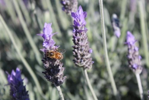 Lavender Bush, Melbourne