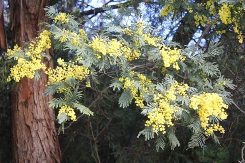 Wattle Tree, Melbourne