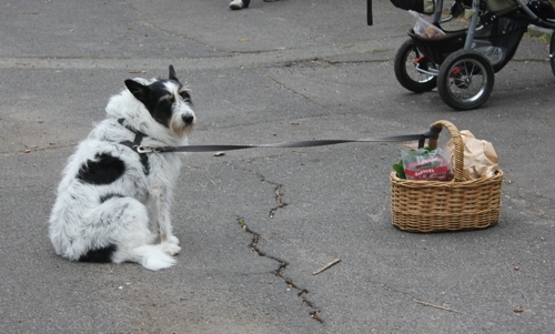 Dog at the Abbotsford Convent Market in Melbourne
