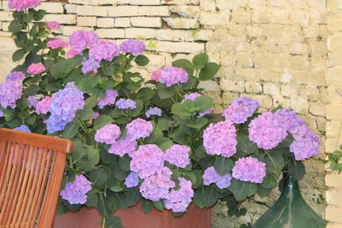 Hydrangeas in the loggia at La Villa Hotel, Mombaruzzo
