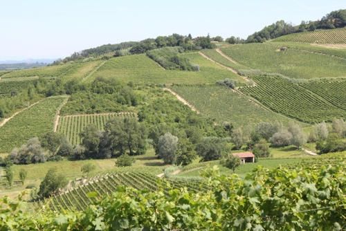 Vineyards of Piedmont