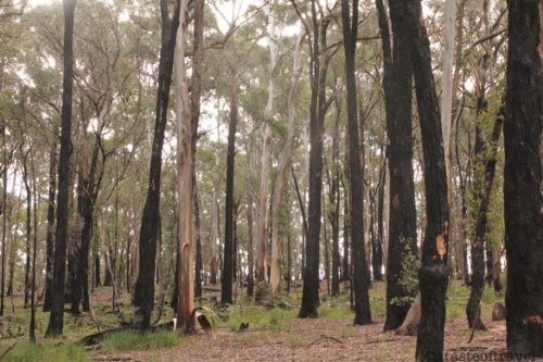 Gum trees in the Aussie Countryside